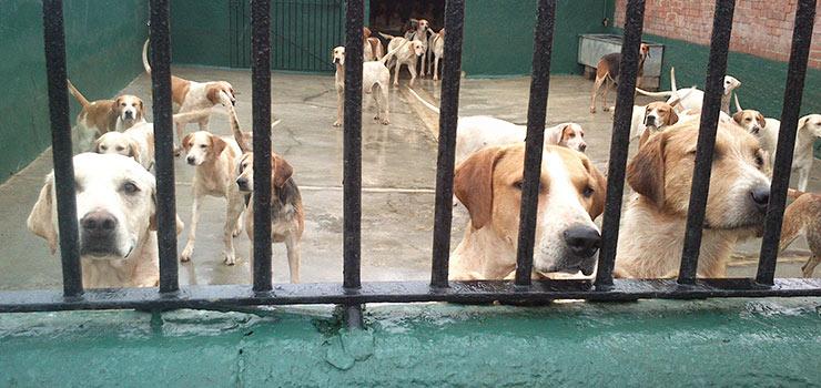 Kennel Tour Fox hounds
