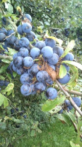 Sloes on the bush - this was a great year.
